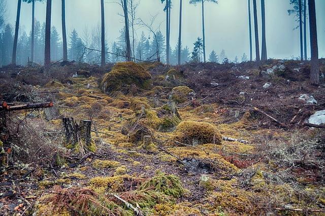 hakattu metsä